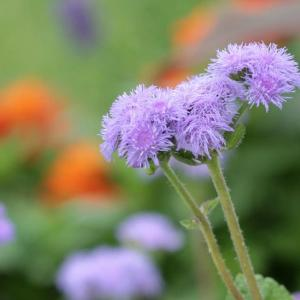 梅雨どきに咲く花