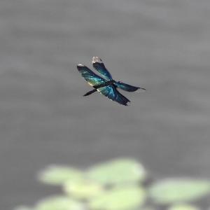 赤トンボやコシアキトンボが飛び交う季節です。
