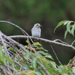 ちらりと姿を見せたコゲラの幼鳥とヤマガラやメジロなど