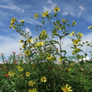 トウワタやフウセンカズラなどの花