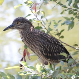 ホシゴイなどの野鳥