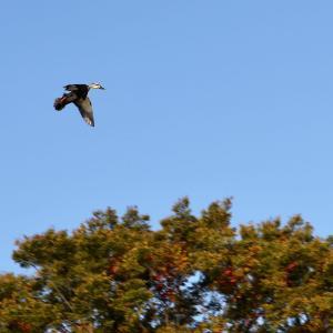 上空から餌場を探すカルガモと水草を運ぶカワウ