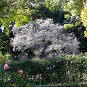 紅葉と四季桜をテーマに季節の花めぐり