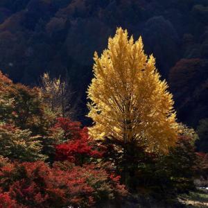 命名90周年を迎えた紅葉の名所香嵐渓