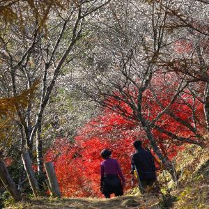 競い合う四季桜と紅葉