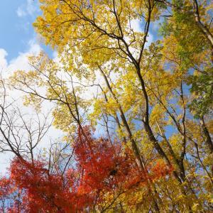 チャンチンモドキの黄葉とイロハモミジの紅葉