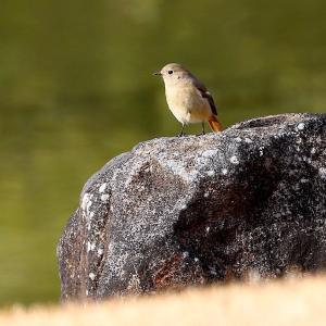 日本庭園で遊ぶヤマガラやジョウビタキなどの野鳥