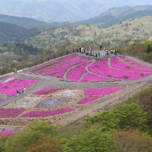 標高千三百m余の山頂近くに広がる芝桜の絨毯