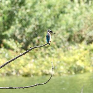 久しぶりに姿を見たカワセミと勅使池の野鳥