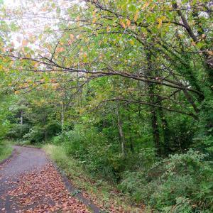森の中で見かけたシデコブシやツバキの実