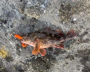ショアスロージギングの後に癒やしの根魚(石川県 外浦)磯