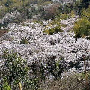 山桜が綺麗でした。