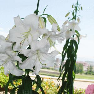 カサブランカ、巨大化!花咲いてます(^^)/