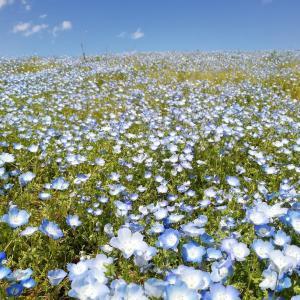 天空へ続くネモフィラの花絨毯