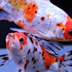 美しい金魚を撮る
