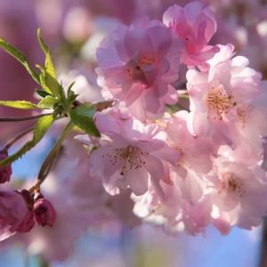 八重の桜2種