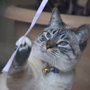 ひもにジャレる猫ちゃん