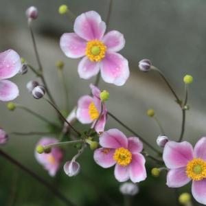 淡いピンクの秋明菊