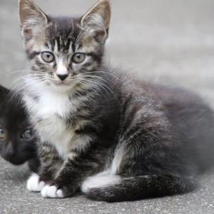 キジトラ王国の新世代猫