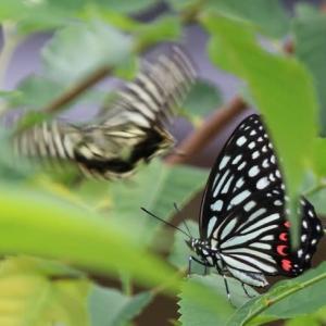 外来種の蝶か?