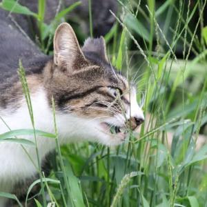 草を食む猫ちゃん