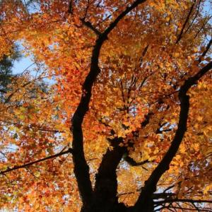 ハナノキの紅葉