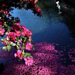 サザンカの花が満開