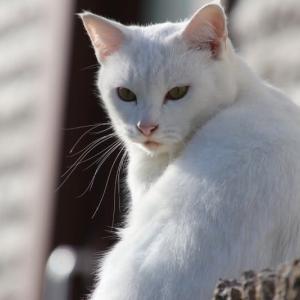 塀の上の白猫さん