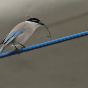 オナガ(鳥)を追う