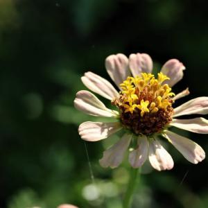 花壇のジニア