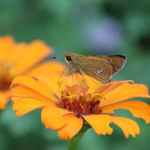 花壇のセセリ蝶