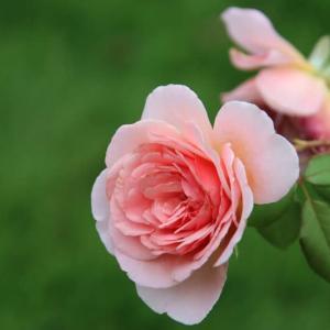 小公園のバラ