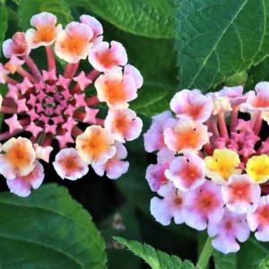 ランタナの花を撮る