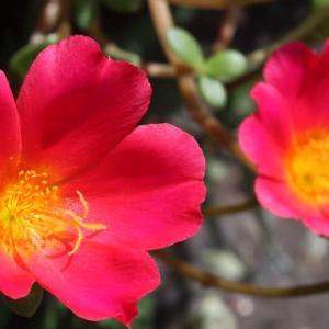 ポーチュラカの花を撮る