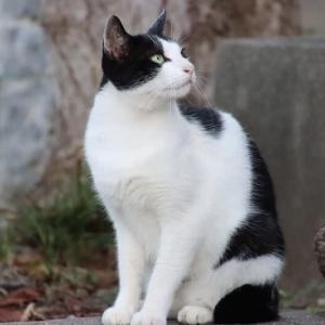 ハチワレの白黒猫さん