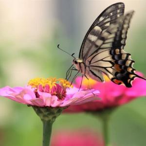 撮りためた蝶を公開