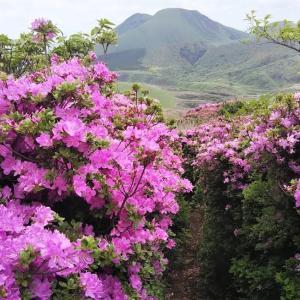 ミヤマキリシマ咲き誇る烏帽子岳登山