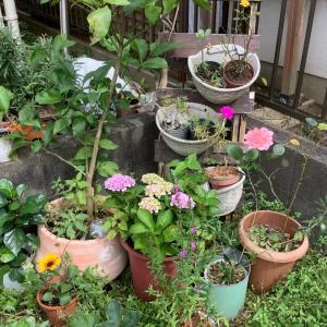 我が家の半自給自足活動◇涼しい時間に庭仕事