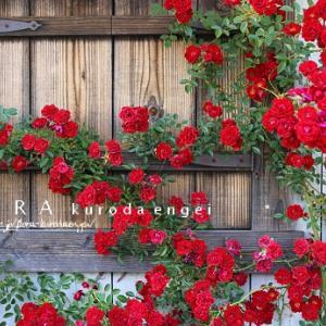 小輪の赤バラ'ヨセミテフォール'