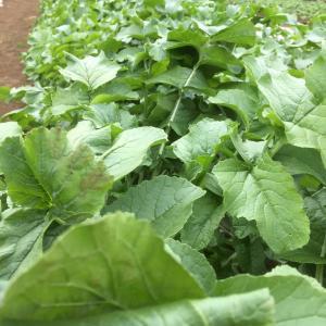 ダイコン収穫体験とポップコーン準備