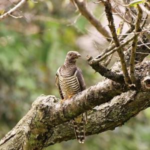 ツツドリ 托卵する鳥のひとつ