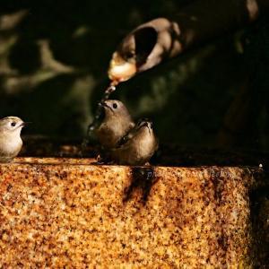 キクイタダキが家族で水浴び