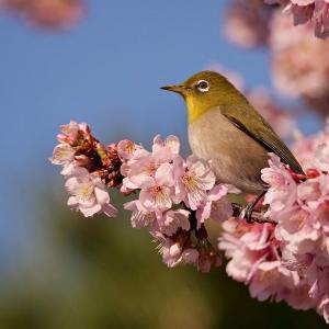 桜のフレームの中のメジロ