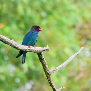 ブッポウソウ 森の宝石と呼ばれる鳥