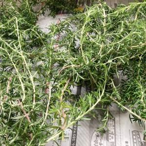 ローズマリーの乾燥と保存