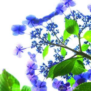 本日の1枚(紫陽花の秘め事)