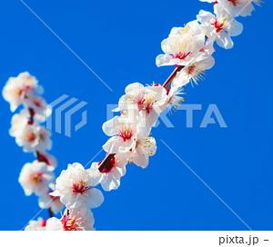 梅花と青空の風景