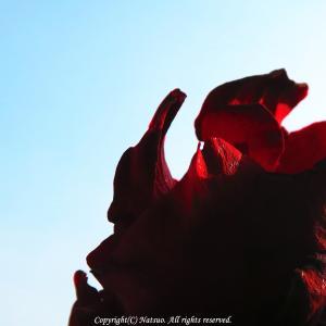 本日の1枚(赤い薔薇)