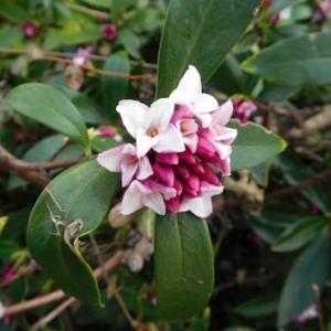 沈丁花の香り