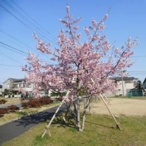 再会 公園の河津桜
